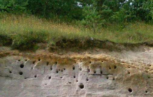 Gniazda Jaskółki Brzegówki