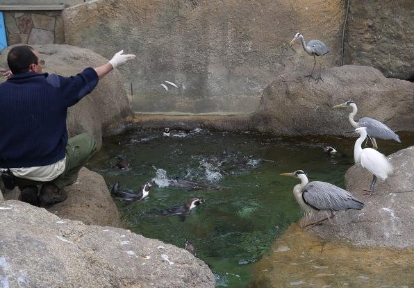 Karmienie Pingwinów