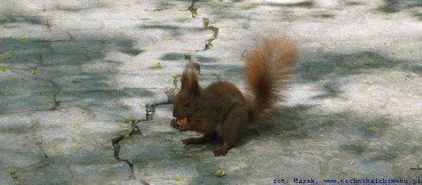 wiewiórka_wm
